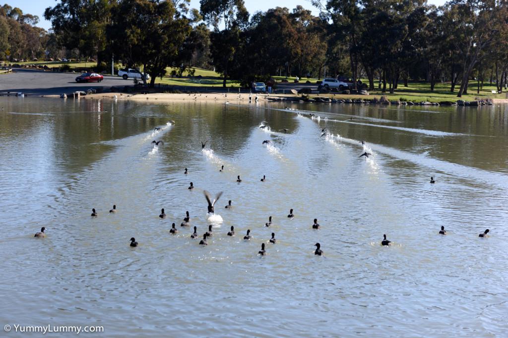 Birds on Lake Ginninderra