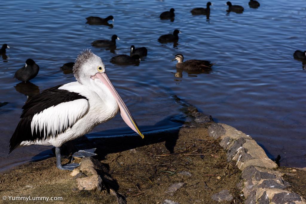 Pelican on Lake Ginninderra