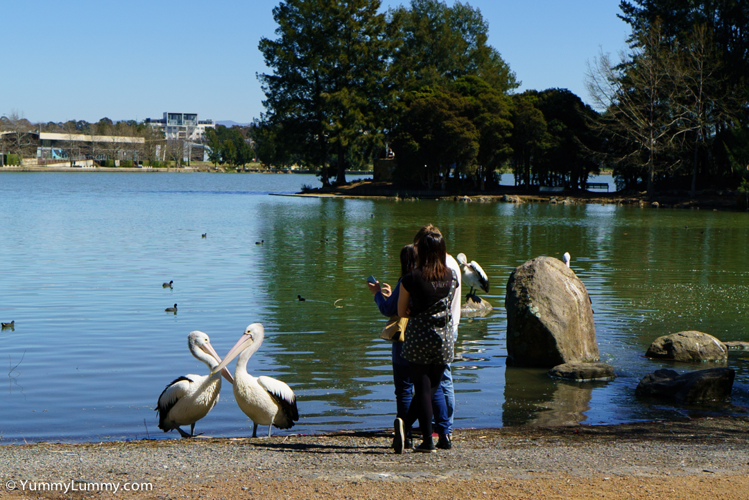 Pelicans and people on Lake Ginninderra