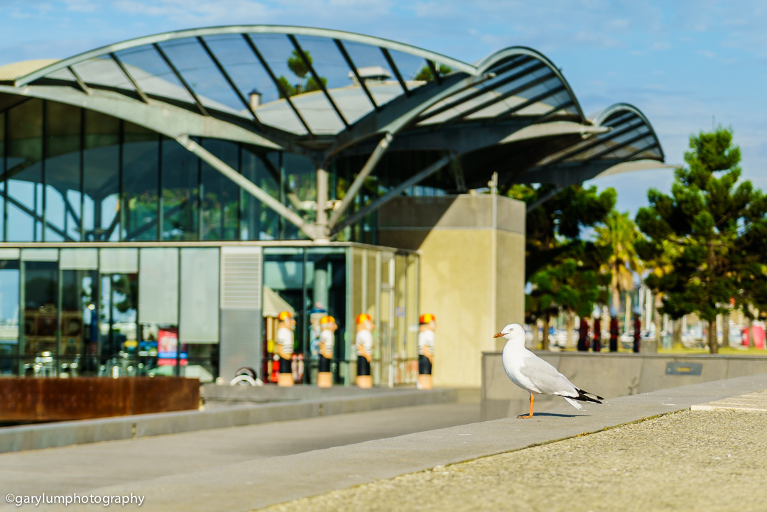 Seagull Corio Wharf SONY ILCE-7S with FE 24-70mm F4 ZA OSS at 70mm and f/4, 1/1250sec, ISO 100