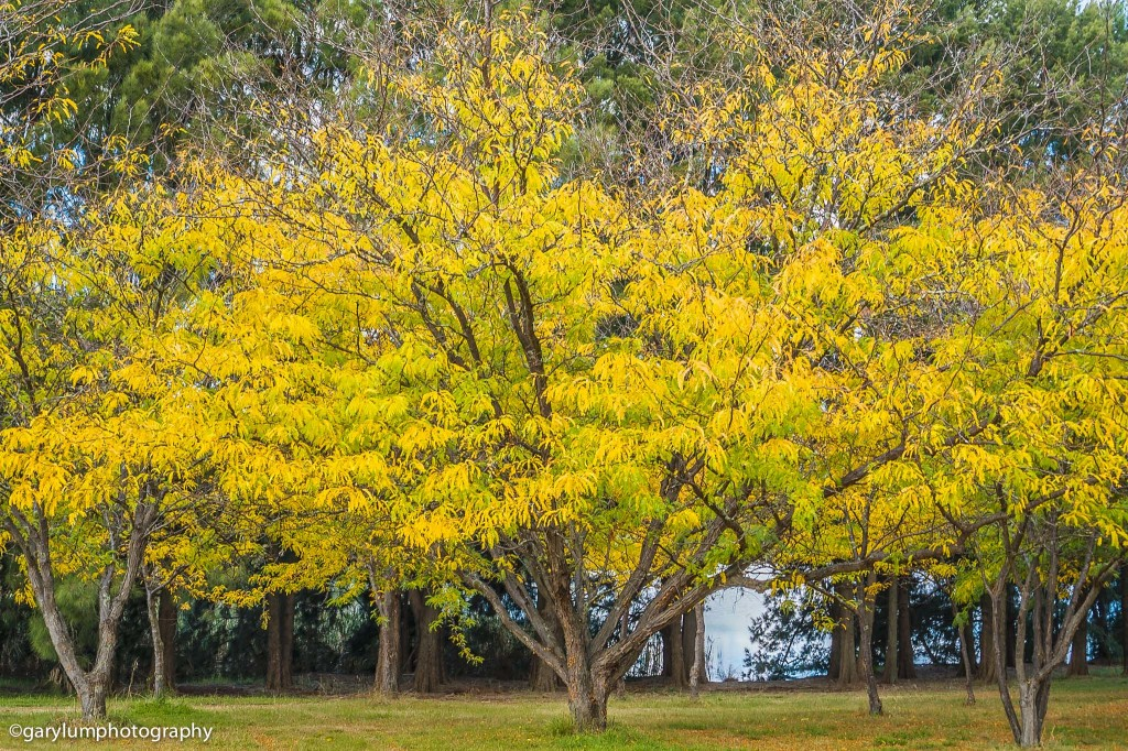 Big yellow tree on Lake Ginninderra