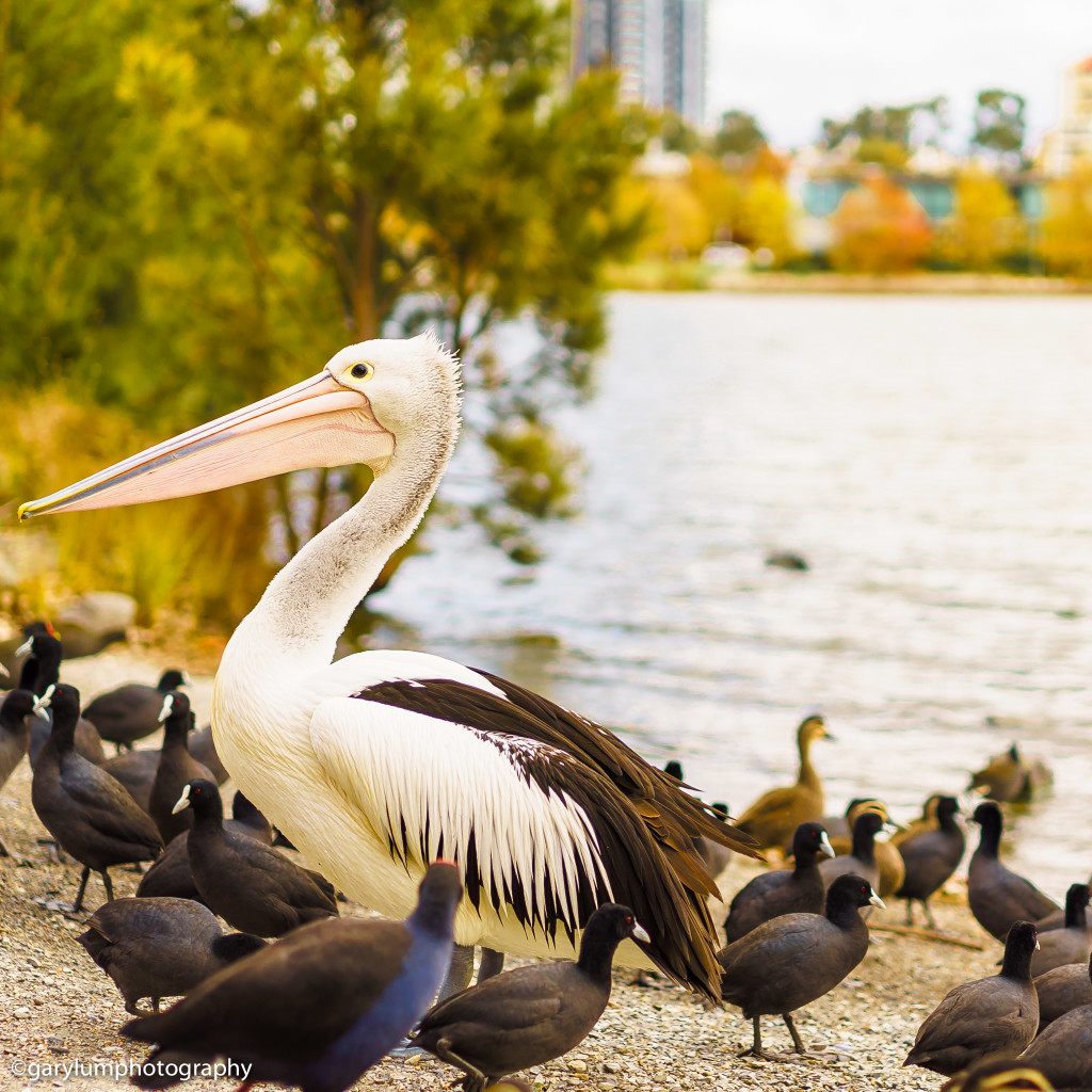 Pelican by Lake Ginninderra | SONY ILCE-7S with FE 55mm F1.8 ZA at 55mm and f/2, 1/1500sec, ISO 100