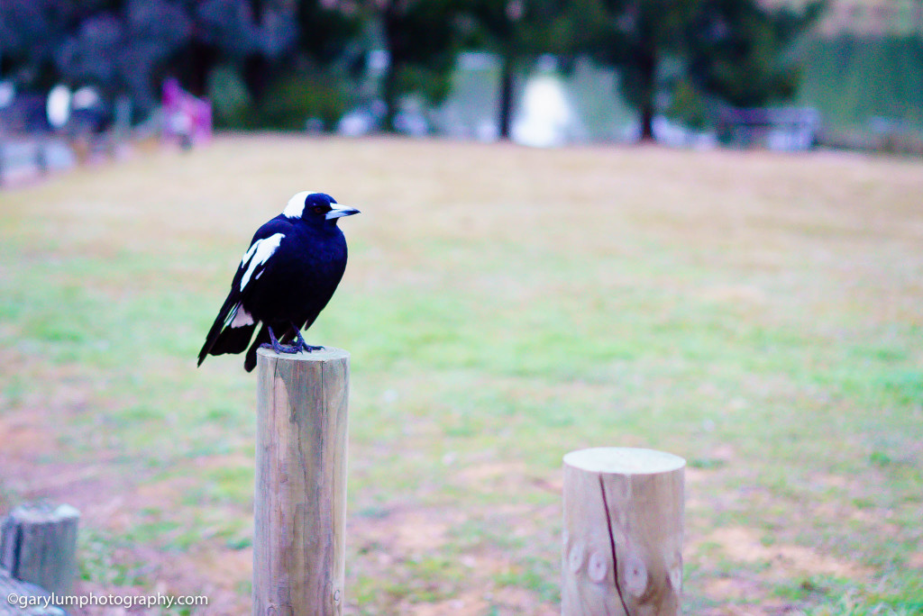 Magpie at Lake Ginninderra