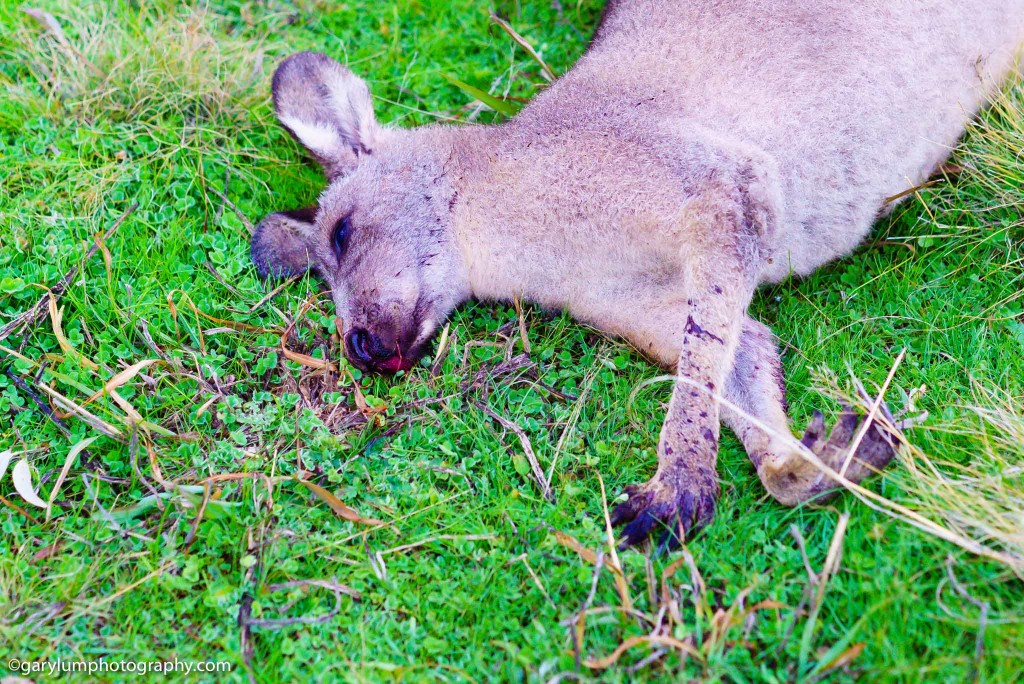 Dead kangaroo at Lake Ginninderra