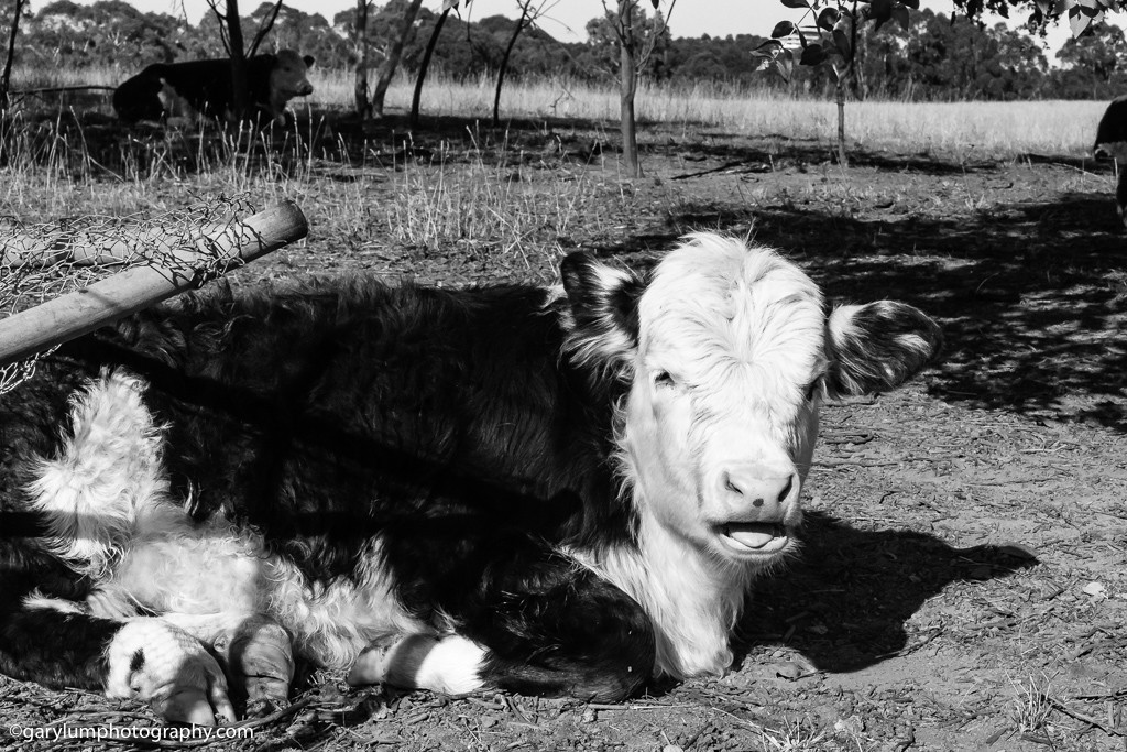 Cows by Lake Ginninderra. I'm experimenting with black and white photography