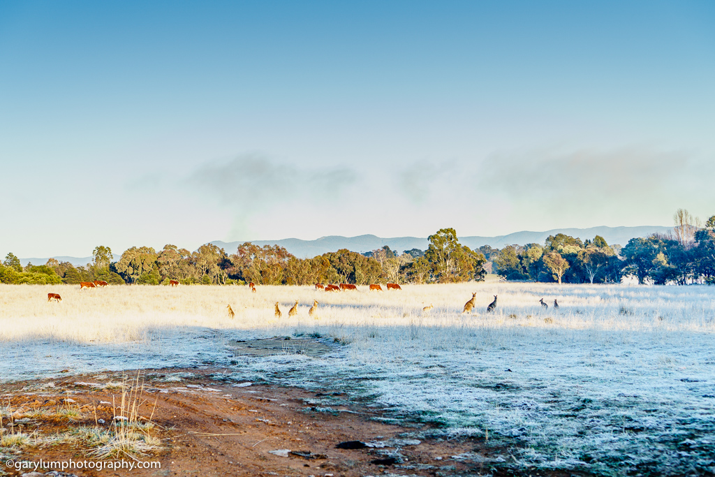 Kangaroos and cows on the frosty grass near Lake Ginninderra