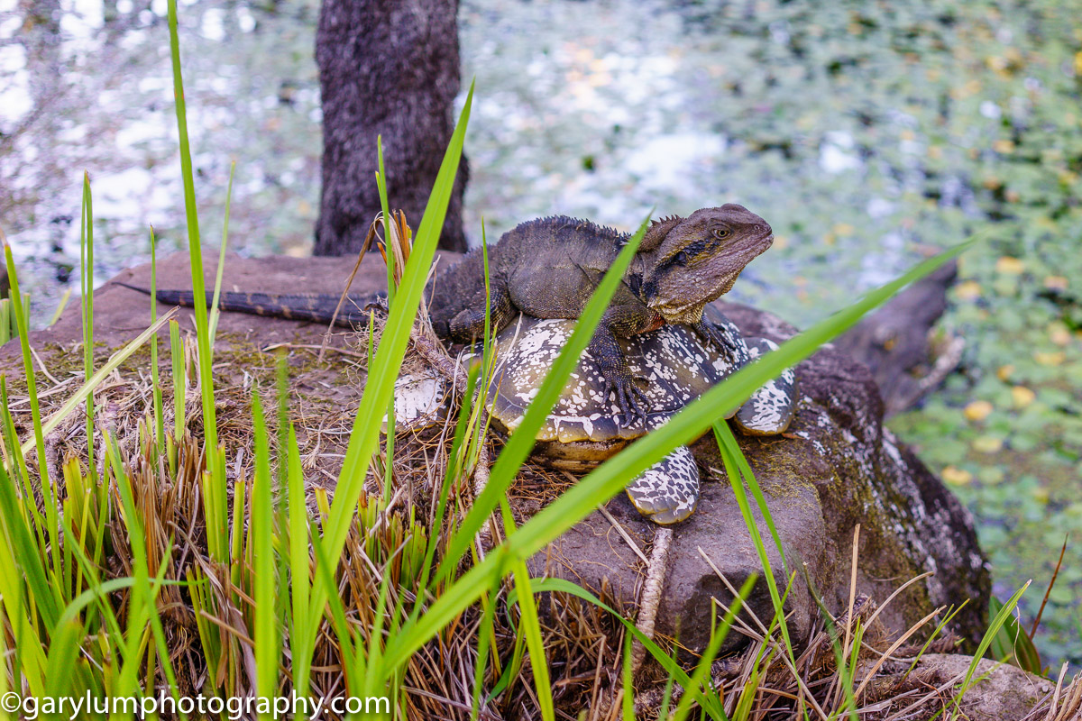 Lizard on a turtle on a rock at Buderim Ginger Factory