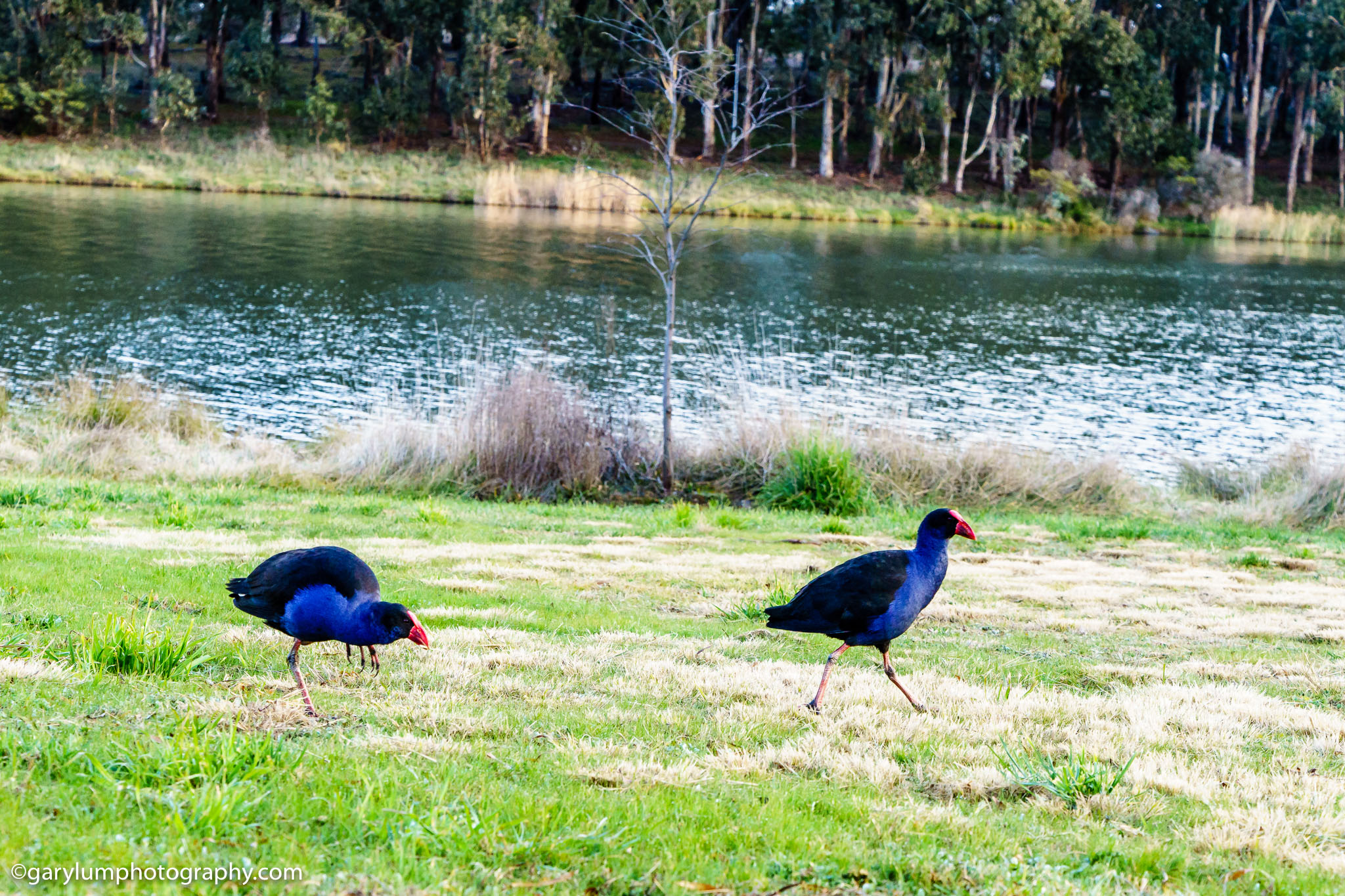 Lake Ginninderra water hens