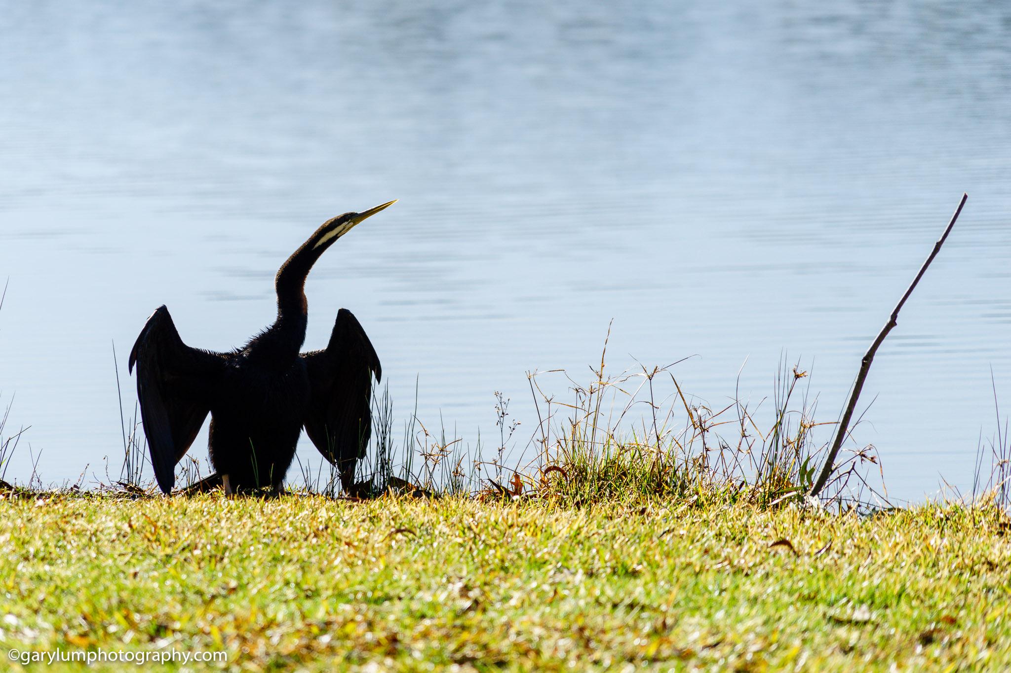 Australian Darter on Lake Ginninderra