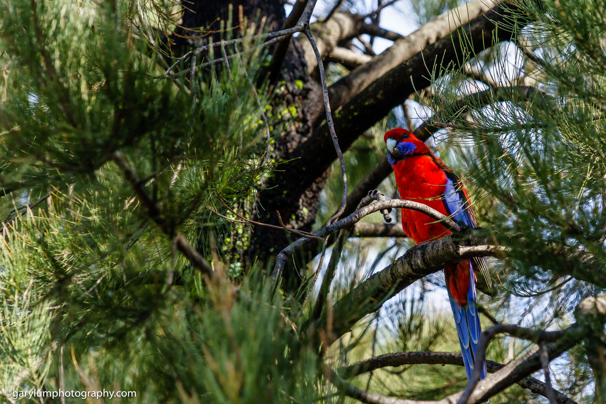 Crimson rosella by Lake Ginninderra