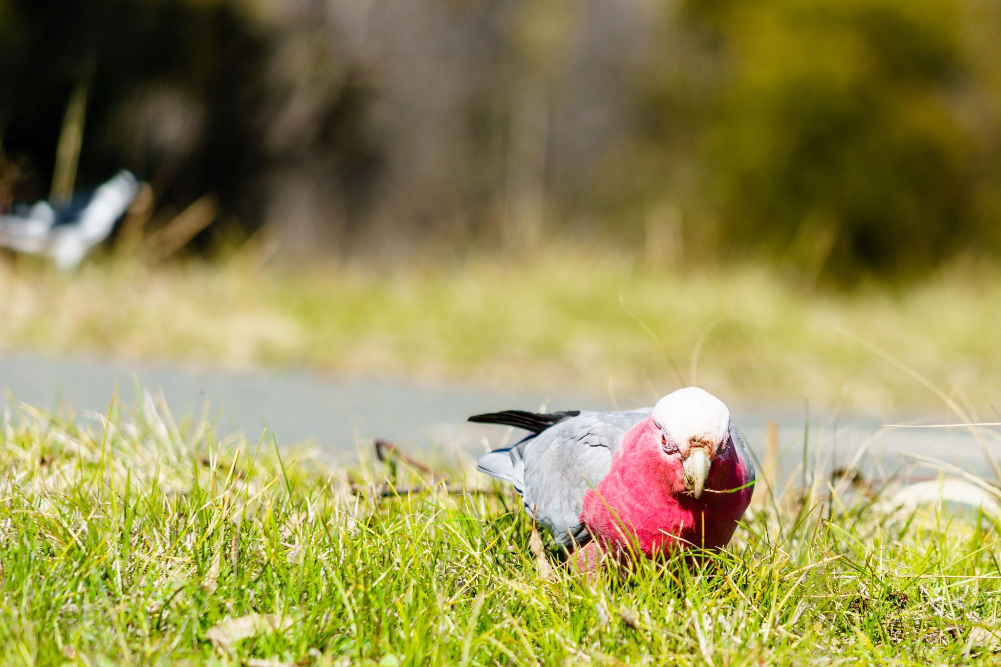 Galah on Lake Ginninderra