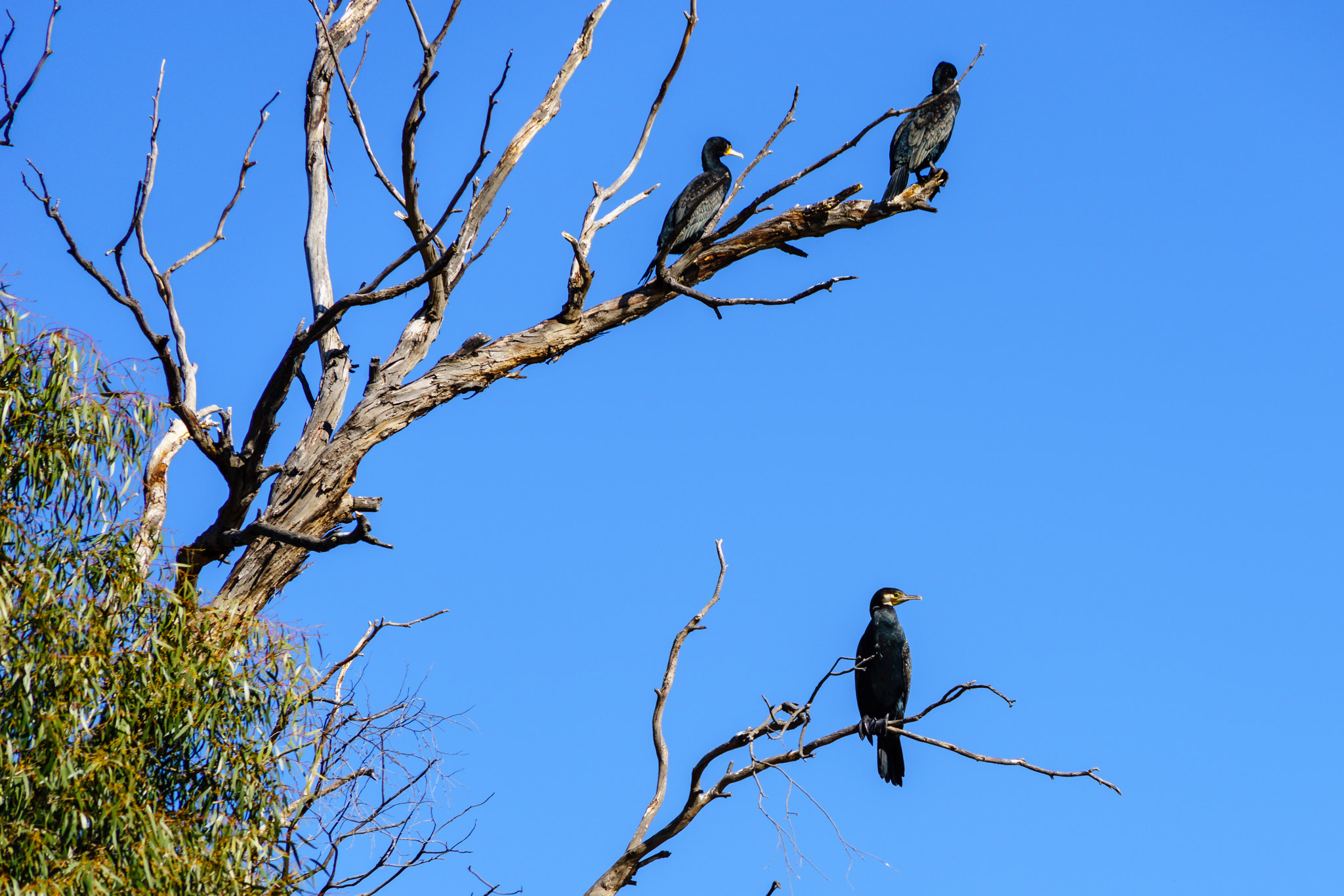 Little black cormorants on Lake Ginninderra