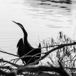 Australasian Darter on Lake Ginninderra