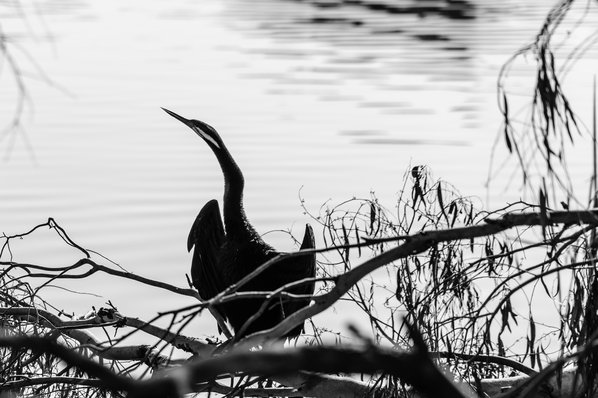 Australasian Darter on Lake Ginninderra