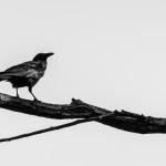 Black bird on Lake Ginninderra