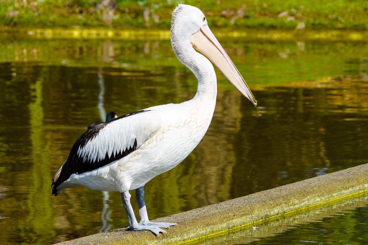 Pelican of Floriade