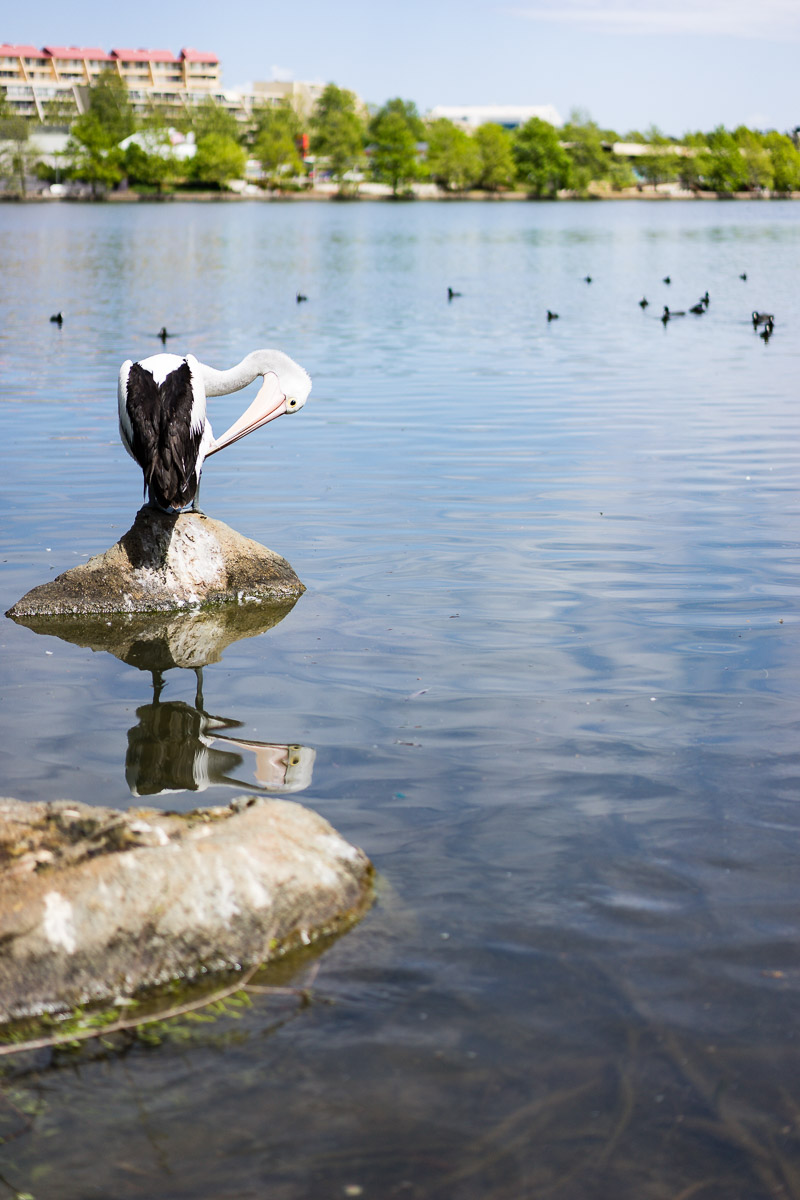Pelican preening itself on Lake Ginninderra