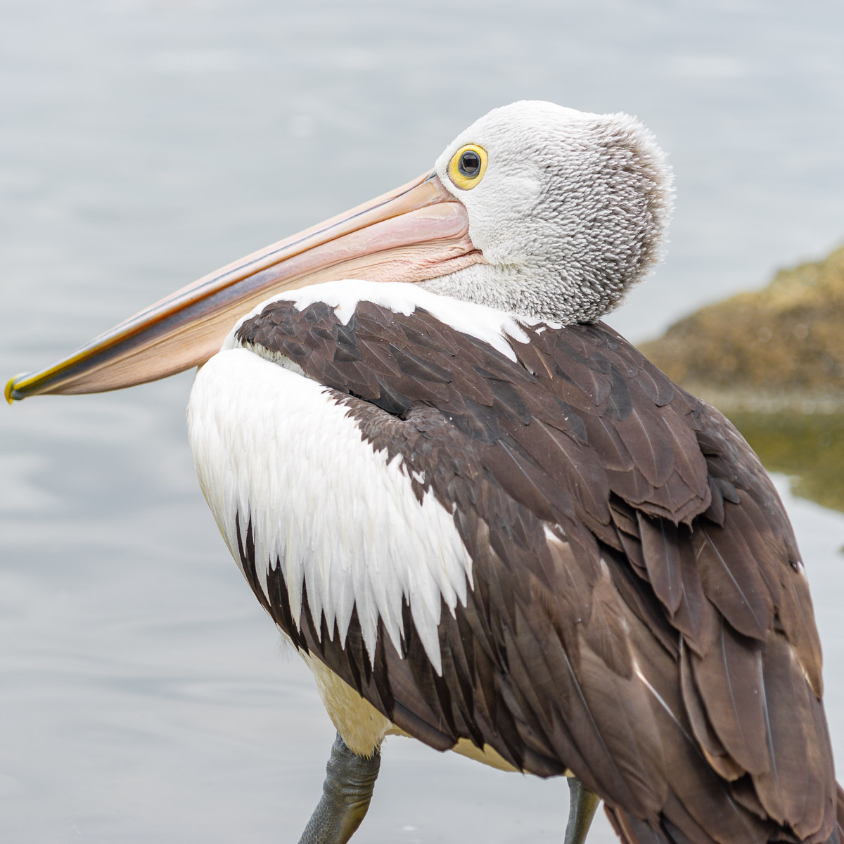 This is a photograph of a pelican on Lake Ginninderra