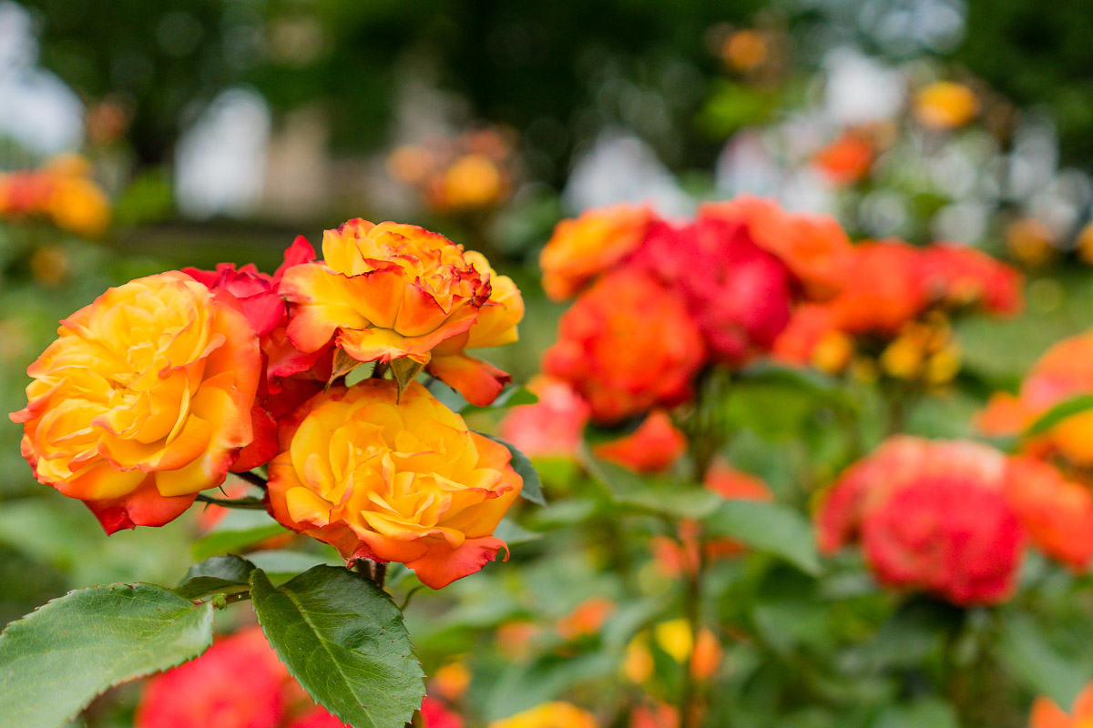 This is a photograph of orange Roses from near Old Parliament House