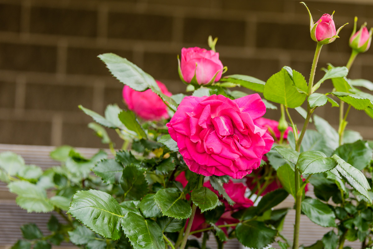 This is a photograph of pink roses from my garden bed.