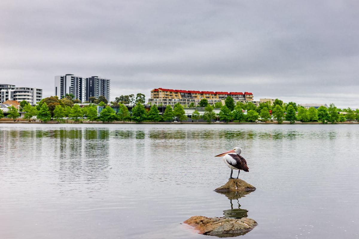 Lake Ginninderra Pelican