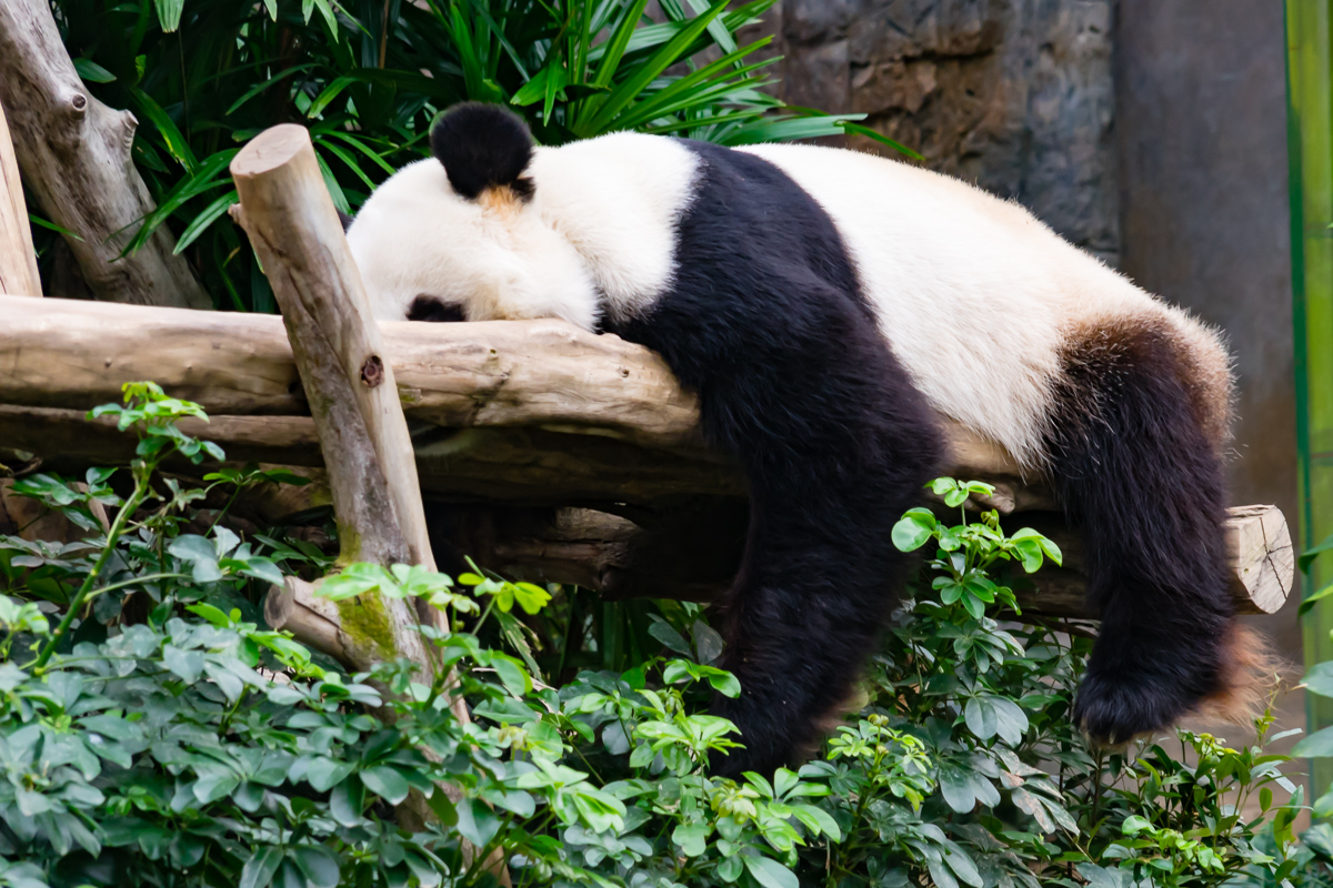 A photograph of a Giant Panda doing what giant pandas do best