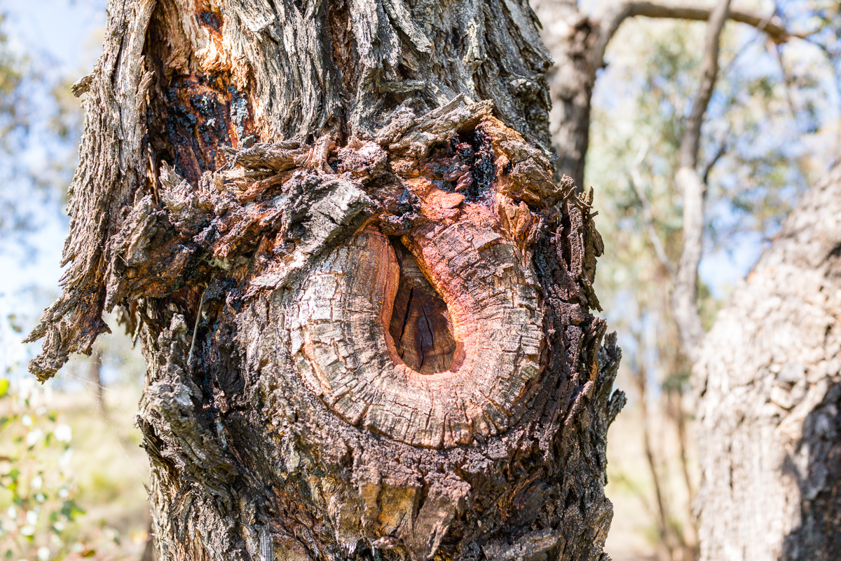 A tree knot on Lake Ginninderra
