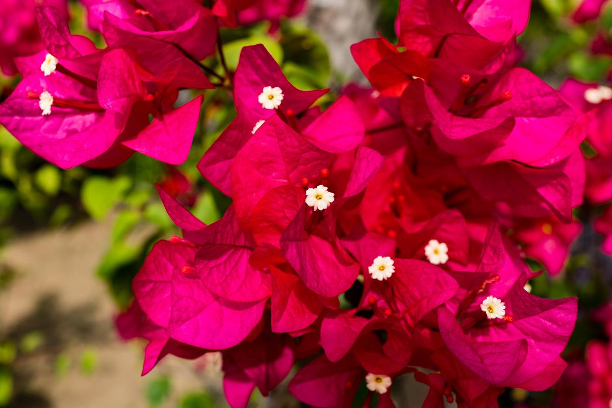 Gary Lum Fort Santiago flowers