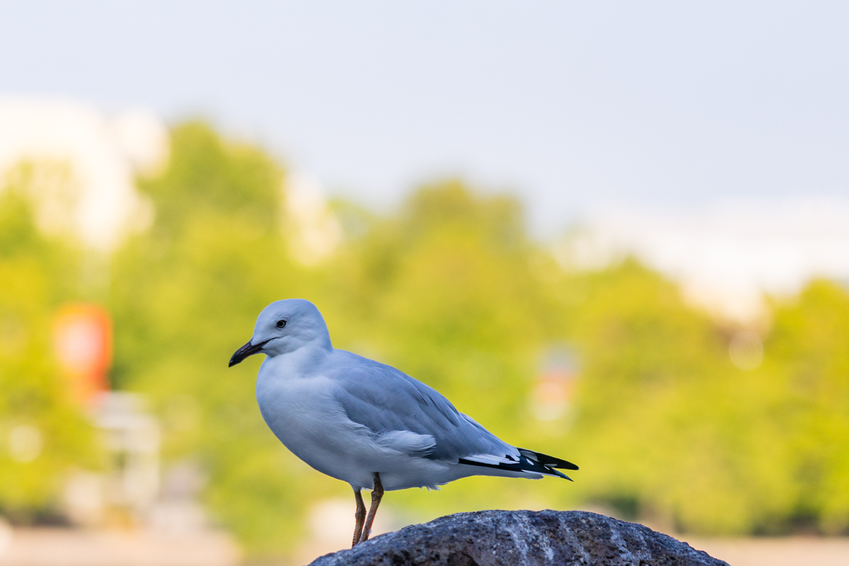 Seagull on Lake Ginninderra
