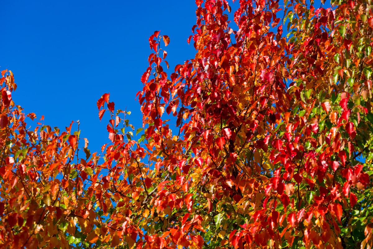 Autumn leaves on Lake Ginninderra