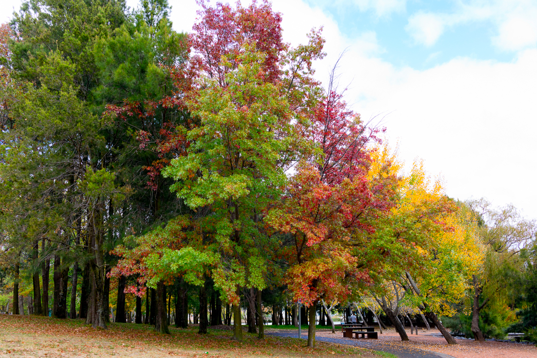 Autumn trees near John Knight Memorial Park, Lake Ginninderra