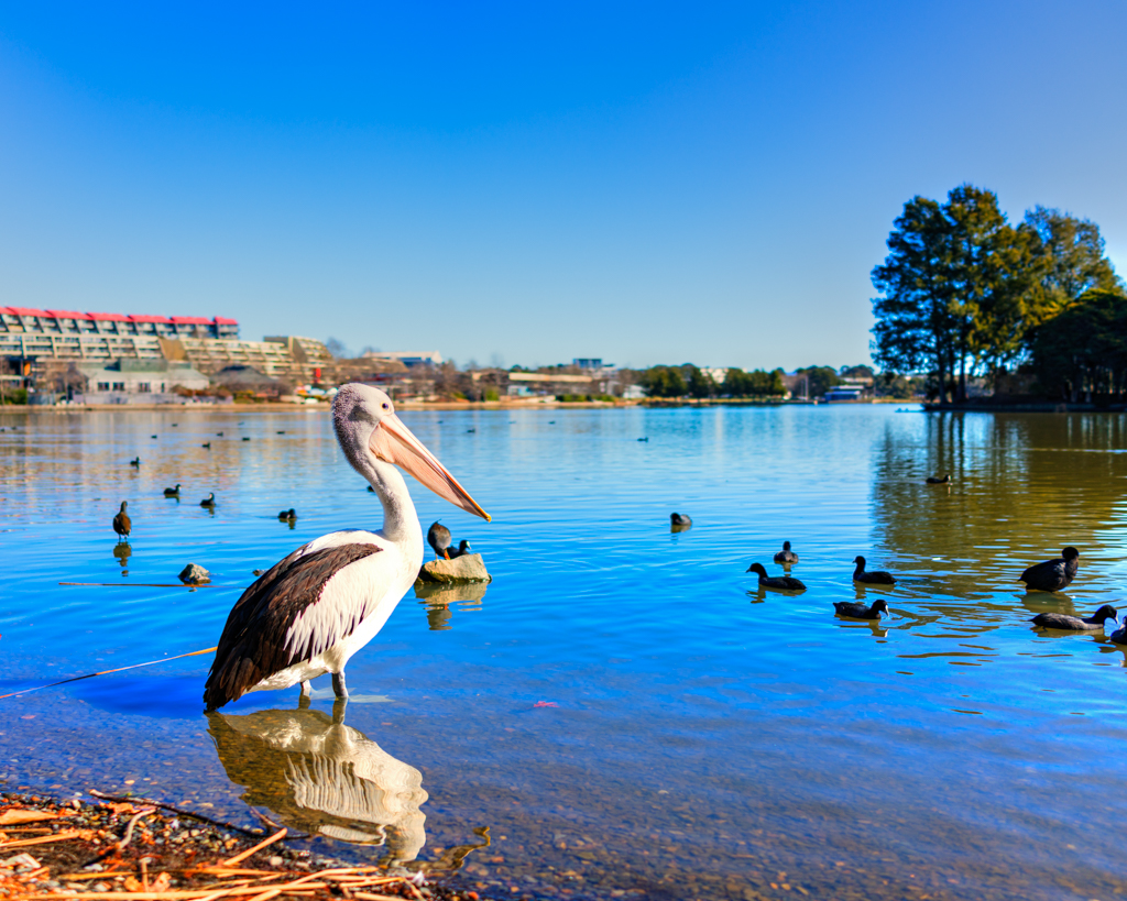 Pelican on Lake Ginninderra
