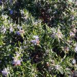Rosemary bush, thick and flowering Gary Lum