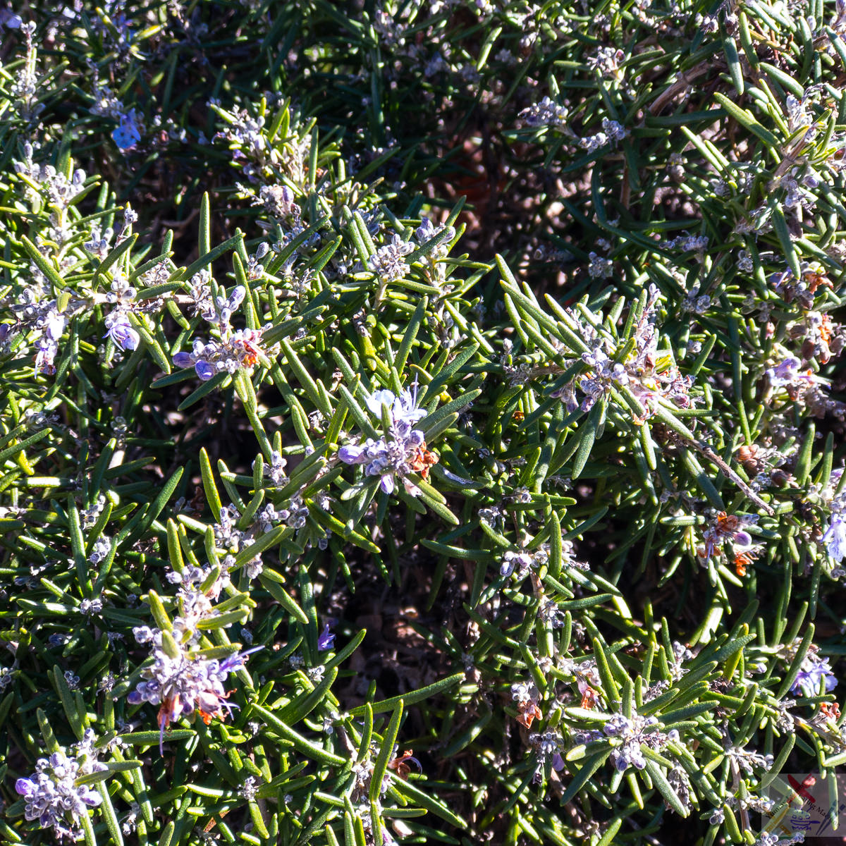 Rosemary bush, thick and flowering Gary Lum